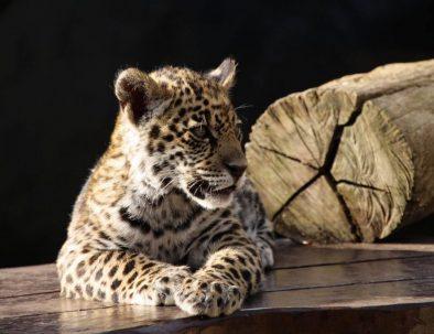 Naturreservat med jaguarer