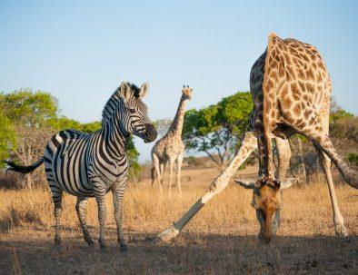 Noshörningsuppfödning och vilda djur