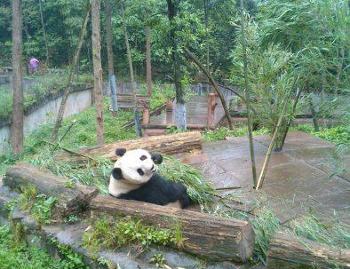 Jättepandor i Sichuanprovinsen i spännande Kina