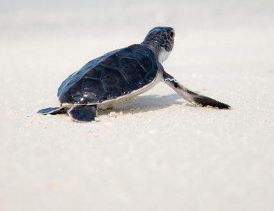 Havssköldpaddor i Ambalangoda på vackra Sri Lanka