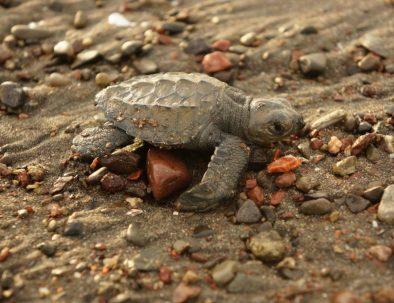 Havssköldpaddor i vackra Costa Rica