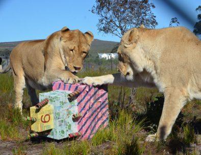 Stora kattdjur på hållbart naturreservat