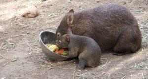Räddningscenter för vallaby kängurur, vombat och andra inhemska djur
