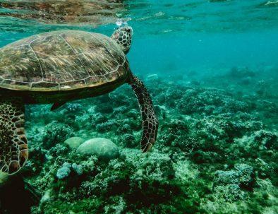 Havssköldpaddor och korallodling